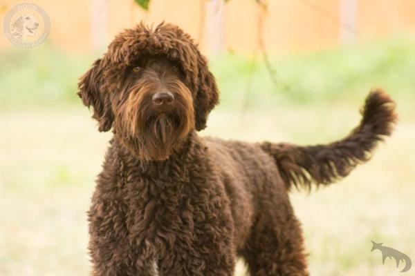 Zuchtformen Goldendoodle Dogs Of Golden Kennel Andreas