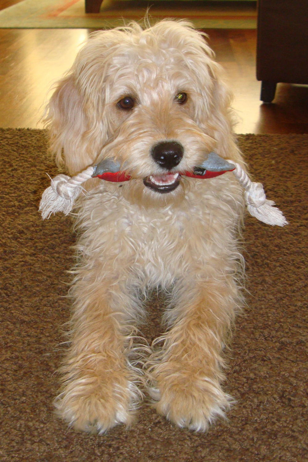 Training Golden Doodle Dogs