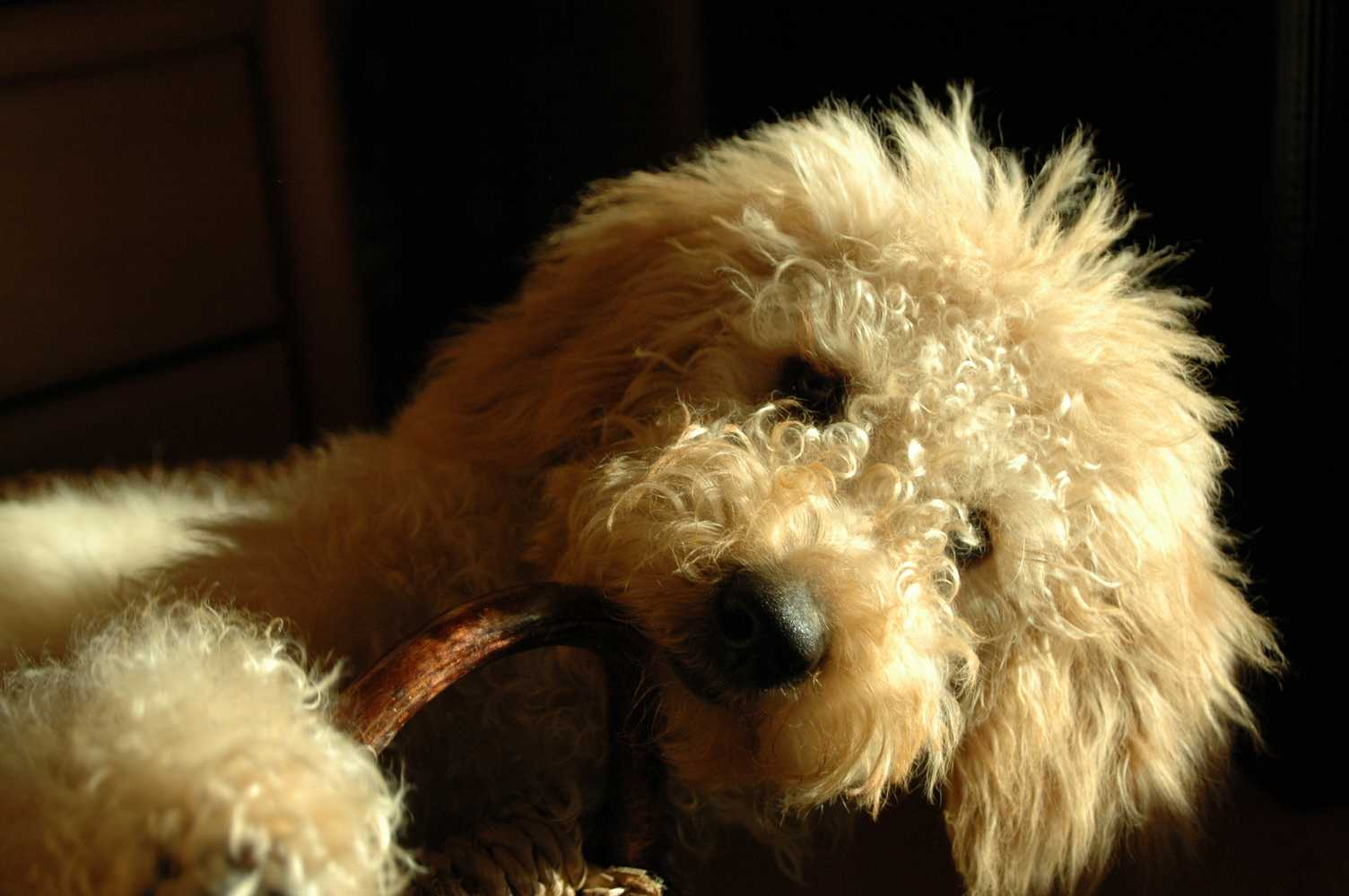 Labradoodle Goldendoodle Dogs Of Golden Kennel Andreas